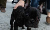 愛犬とのお散歩やドライブに。フレンチブルの秋物ソックス!