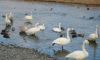津軽石の白鳥